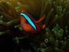 Tomato anemonefish (Paul Flandinette) Tags: ocean fish photography underwater clownfish anemonefish layanglayang underwaterphotography nemofish amphiprionfrenatus tomatoanemonefish cutefish beautifulfish paulflandinette