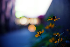 hope (moaan) Tags: life leica light flower digital 50mm evening twilight flora dof bokeh dusk f10 utata m8 flowering noctilux dailylife tomorrow 2009 everydaylife explored inlife leicam8 leicanoctilux50mmf10 lookingfortomorrow hopeoflight gettyimagesjapanq1 gettyimagesjapanq2