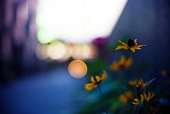 hope (moaan) Tags: life leica light flower digital 50mm evening twilight flora dof bokeh dusk f10 utata m8 flowering noctilux dailylife tomorrow 2009 everydaylife explored inlife leicam8 leicanoctilux50mmf10 lookingfortomorrow hopeoflight gettyimagesjapanq1 gettyimagesjapanq2