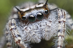 Phidippus (mystaceous) - immature (Sam Martin (abikeOdyssey)) Tags: macro female lens spider jumping eyes nikon legs arachnid leg backwards jumper reversed nikkor invertebrate arthropod salticid d60 phidippus salticidae poormans chelicerae pedipalps macrolife earthanditsincredibleanimals notyournormalbug mystaceous