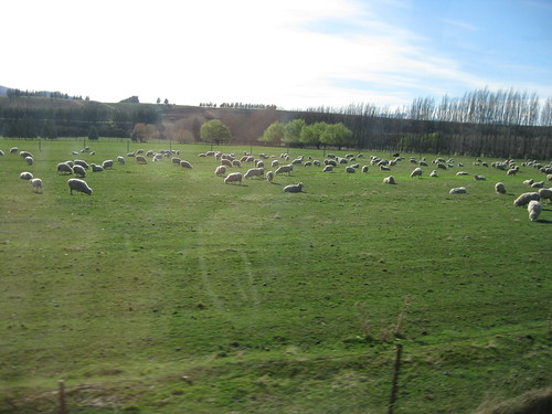 So many sheep in this country!!