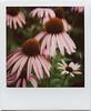 cure (davebias) Tags: park nyc color polaroid sx70 echinacea 600 integral