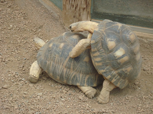 there's a very distinct shell clicking sound when turtles do it. you know, in case you were curious.