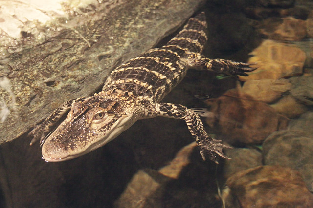 MODS gator 2
