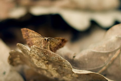 In camouflage (Andreas Hallenberg) Tags: life nature leaves animal forest butterfly gteborg insect walking leaf spring woods sweden peaceful calm lepidoptera autumncolors camouflage suburb sverige strolling inthewoods biskopsgrden guthenburg