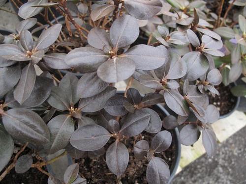 Rhododendron 'Northern Starburst'