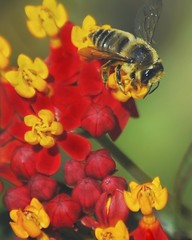 Leaf-cutter bee on butterfly weed