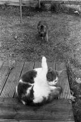 (Dr Karanka) Tags: uk wales ilfordhp5 genitalia suspiciouslook twocats blackandwhitefilm lickingpussy asahipentaxspotmatic catcaughtinfraganti