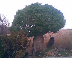 stone tree 2 (xpavli) Tags: lakes greece prespes