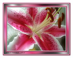 Stargazer Lily (capegirl52) Tags: lily stargazer stargazerlily bej mywinners goldmedalwinner platinumphoto anawesomeshot impressedbeauty diamondclassphotographer mycameraneverlies overtheexcellence theperfectphotographer goldstaraward excellentsflowers rubyphotographer abovealltherest flickrflorescloseupmacros luckyorgood
