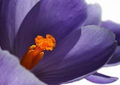 Lilac spring (Fabrette) Tags: orange flower macro nature natura crocus lilac fiore viola arancio lilla croco crocuschrysanthus lilacflower fioreviola veterinarifotografi mimamorflores crocuschrysanthuslilac crocuschrysanthuslilla