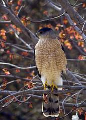 Impressive Visitor (hz536n/George Thomas) Tags: trees winter bird oklahoma spring hawk stillwater 2009 coopershawk smörgåsbord cs3 mississippikite canon30d kartpostal