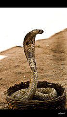 Naja naja (saternal) Tags: cobra charming sanke snakecharming indiancobra najanaja mywinners aplusphoto saternal
