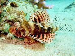 Zebra Dwarf Lionfish by prilfish, on Flickr