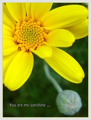 You are my sunshine ... (W J (Bill) Harrison) Tags: flower macro nature yellow colours sony daisy picnik vosplusbellesphotos dragondaggerphoto