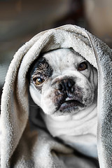 Just Bathed (Dean of Photography) Tags: portrait dog face animal bath dof towel bulldog bathed frenchbulldog pudge smushed bigmomma ccctd favescontestwinner pfosilver herowinner ultraherowinner