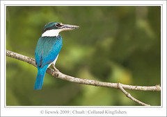 Collared Kingfisher ... back ...