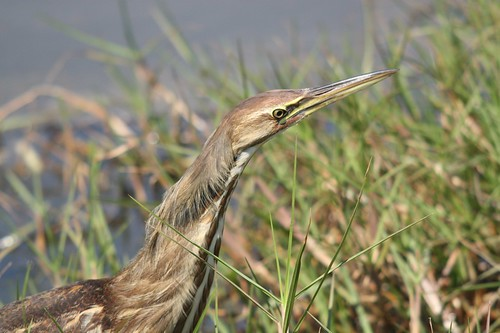 American Bittern - click to view full-size image on Flickr