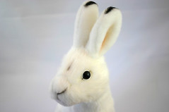 Japanese Hare