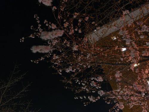 09-03-24【桜】@香芝-03