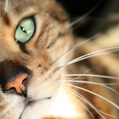 Bengal (red_dotdesign) Tags: macro closeup cat nose bokeh whiskers bengal cateye blueribbonwinner