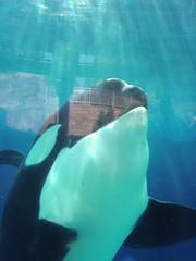 Ulises interacting! (sumarfan) Tags: world sea up close believe whale orca uli interaction swc interacting ulises