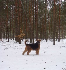 KAUSZA (AnnLoz.5) Tags: dog pet dogs animal animals terrier airedale mydog airedales airedaleterrier