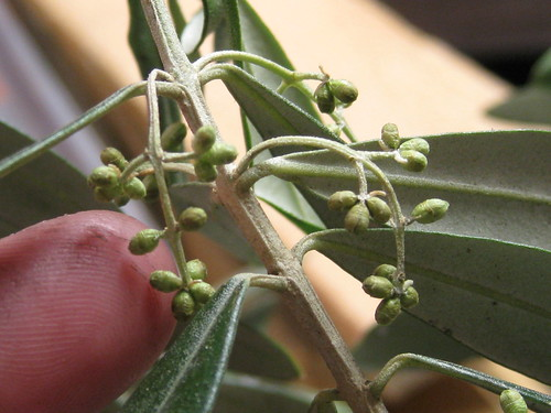 European olive leaves and buds