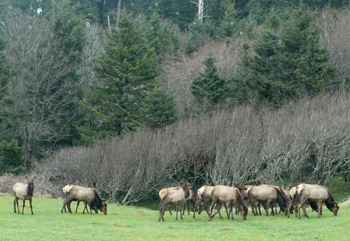 Elk grazing2 - Ecola State Park 3-27-09