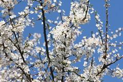 De lente heeft op me gewacht (grwsh.marcel) Tags: blue white 20d canon marcel spring blauw blossom canon20d lente wit bloesem 100400mm kleuren grwshmarcel bedanktvoorhetbezoekaanmijnstream