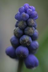 Grape hyacinth (Shotaku) Tags: flowers flower macro garden spring weeds purple bokeh lawn bulbs wildflowers 2009