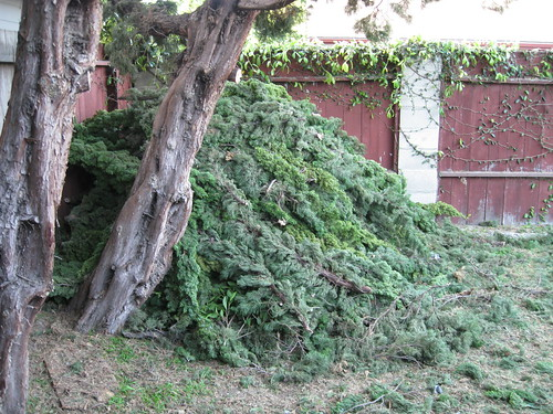 large pile of Hollywood Juniper branches