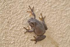 Laubfrosch (Joachim S. Müller) Tags: animal germany deutschland hessen amphibian frog frosch treefrog tier dieburg hyla amphibie laubfrosch hylaarborea commontreefrog europeantreefrog sigma50500mmf463 europäischerlaubfrosch