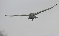 Silent but deadly.... (law_keven) Tags: england birds flying inflight suffolk feathers raptor owl avian barnowl birdsofprey feathery tytoalba featheryfriday explore500