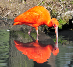 The red Ibis (Habub3) Tags: park travel red vacation holiday rot bird nature animal fauna reflections germany deutschland zoo photo search nikon explore ibis tierpark tier vogel reise schnabel d300 spiegelungen eudocimusruber redibis rotersichler schwaigern sichler scharlachsichler flickr2009 habub3