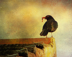 The early bird got the worm (Steve-h) Tags: orange black art tourism rooftop yellow design blog europe purple tourists textures finepix bloggers blogging fujifilm recreation worm blackbird aerlingus wow1 wow2 steveh s100fs skeletalmess