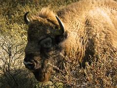 European Bison at Kraansvlak (Bn) Tags: project dangerous topf50 nederland bison ark kennemerduinen europeanbison natuurgebied wisent 50faves gr