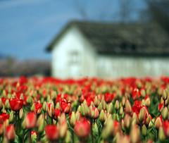 Let us enjoy our moment - said the tulips (Arindam@Sen) Tags: county festival washington dof bokeh tulip wa skagit 2009 superaplus aplusphoto