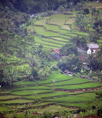 Rice paddies (Mangiwau) Tags: west field golf indonesia real java estate rice paddy terrace farming terraces tranquility course hills highland valley land fields ricefield ricefields development jawa indonesian tranquil sukabumi bogor lido developments tanah paddies beras barat sunda klub terracing ciawi bakrie elty sawar cibadak padies