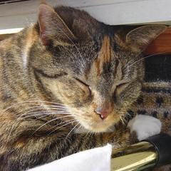 Gracie 30 March 2009 005b (edgarandron - Busy!) Tags: cats cute cat gracie tabby kitty tortoiseshell kitties tortie torbie