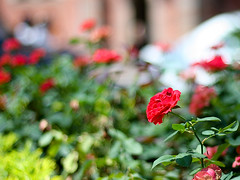 Happy weekend to you all (Bear likes Beer (busy as a Bee)) Tags: red rose happy bokeh weekend vietnam hochiminh