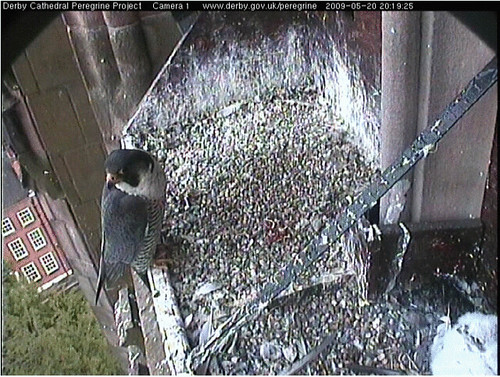 Derby Peregrines ringed chicks 3