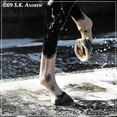 Zenyatta (Rock and Racehorses) Tags: shoe soap bath shoes mare kick explore nails hoof hind racehorse thoroughbred suds hooves hinds nailon zenyatta franjurga hoofblog ska9532