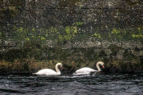 Swans on the Corrib