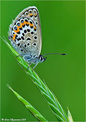 20090614_8264 (Lino Sgaravizzi ) Tags: macro fauna natura sensational insetti farfalle naturesfinest colorphotoaward theunforgettablepictures macrolife alemdagqualityonlyclub 100commentgroup vosplusbellesphotos