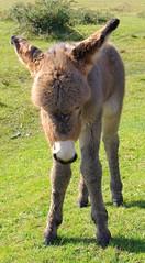 e awww (popinjaykev - living the Italian dream) Tags: park blue baby animal donkey cotswolds hampshire anchor newforest torbay foal naish bashley mywinners hoburneholidays doublenbois