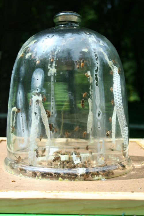 bell jar bees