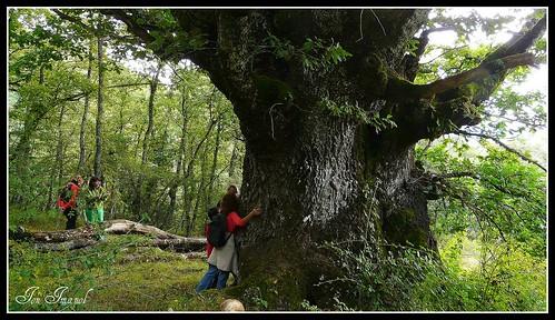 """Roble milenario de Korrosparri """"el Abuelo"""", el de mayor diámetro localizado en el País Vasco, cuyo entorno, y el de otros muchos robles de gran porte, peligra"""