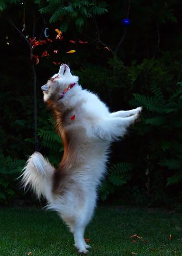 Crazy Husky