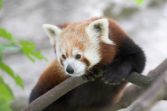 """Red_Panda_b • <a style=""""font-size:0.8em;"""" href=""""http://www.flickr.com/photos/49635346@N02/4557896372/"""" target=""""_blank"""">View on Flickr</a>"""